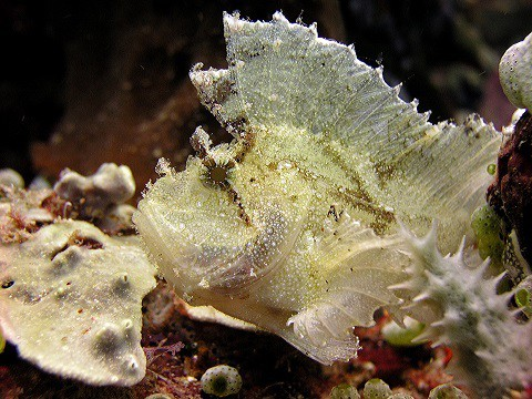leaf scorpionfish-#19