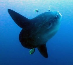Mola Mola Diving Season in Bali