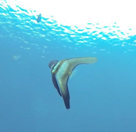 Bat Fish in Nusa lembongan
