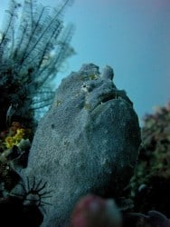 Giant Frogfish in South Gili Islands