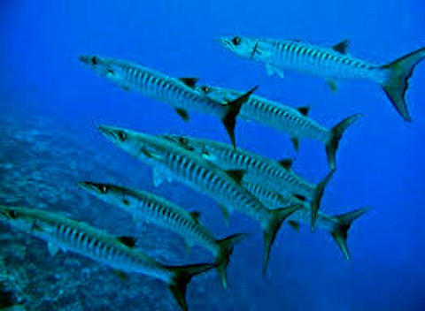 Schooling-barracudas-at-Mantehage-island.jpg