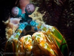 Mantis Shrimp South Lombok