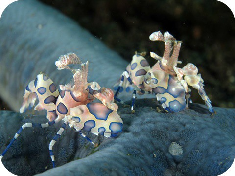 Harlequin Shrimp Shine.