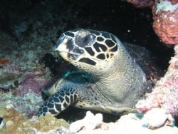Bunaken turtle at Leukuan