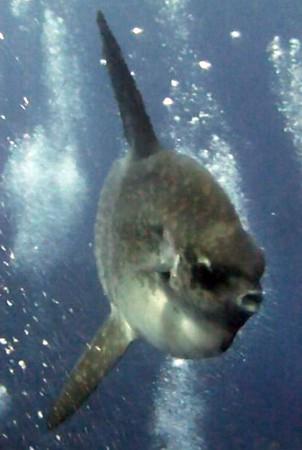 Mola MOla (Oceanic Sunfish) in Nusa Lembongan