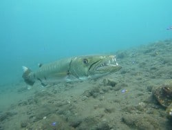 Great Barracuda at the USAT Liberty Wreck