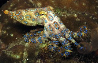 Blue Ringed Octopus on Night Dive in Lembongan