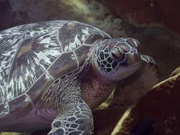 Battleship Turtles in Bunaken