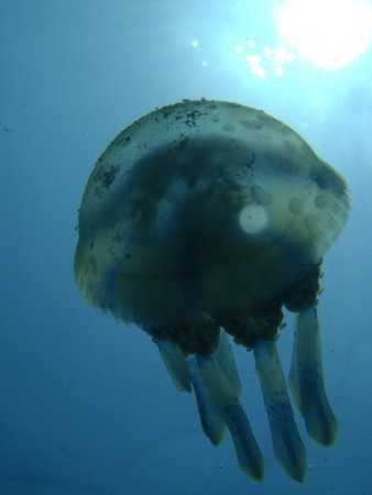 Jelly Fish in Lembongan