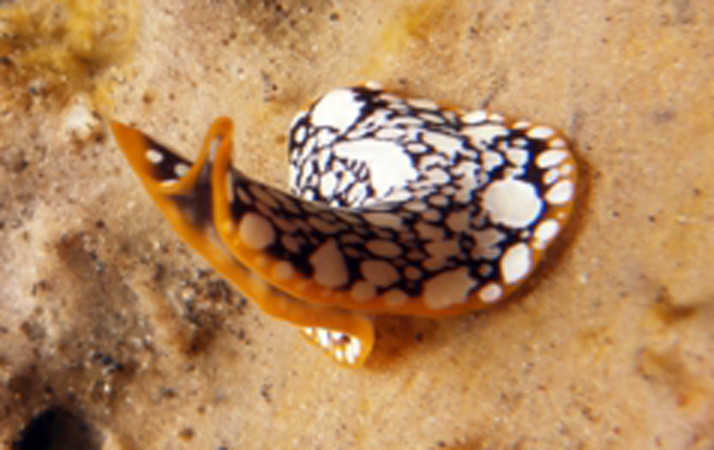 Tiny Flatworm in Nusa Lembongan