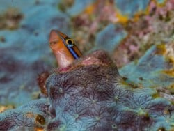 Blenny hiding away in Bunaken!
