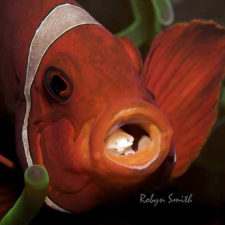 Anemonefish in Lembeh