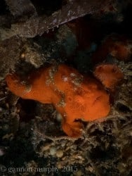 frog fish in Senggigi, North Lombok