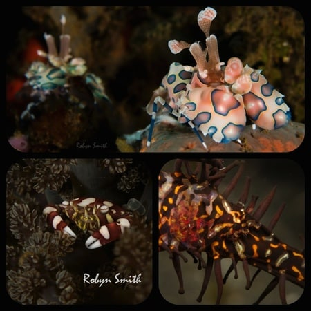 Harlequins have made an appearance in Lembeh this week