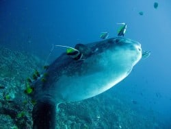 Mola-Mola and Dugong in Bunaken