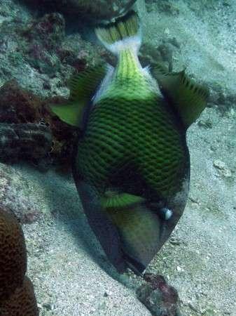 Titan Trigger Fish in Lembongan