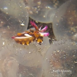 Hatching Flamboyant Cuttlefish in Lembeh
