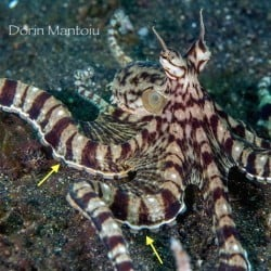 An encounter with a Mimic Octopus in Lembeh is bound to Enchant and Fascinate