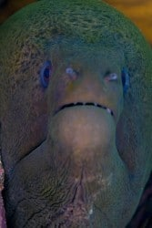 Giant morays in North Lombok