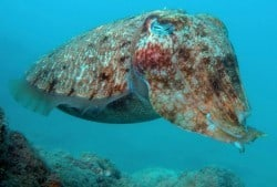 Cuttlefish in Lembongan