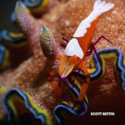 This week at Two Fish Lembeh, Emperor Shrimp, Blue-Dragon Nudibranch and territorial Anemonefish
