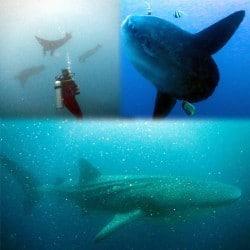 Molas, Mantas, Whale Shark in Lembongan