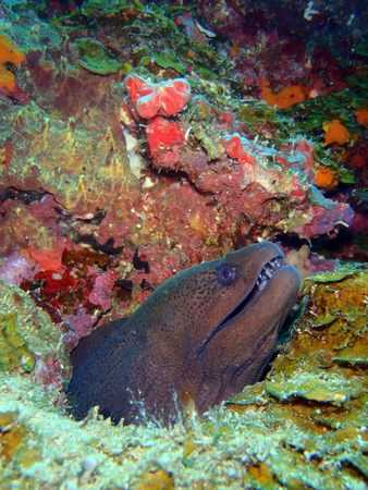 Moray Eels in Lembongan
