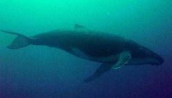 Whale Sharks, Humpback Whale and Molas