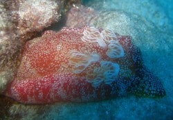 Spanish Dancer in Lembongan