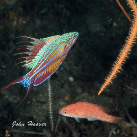 Flasher Wrasse Fever hits Lembeh!