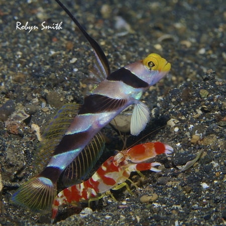 Shrimpgobys and their Snapping Shrimp counterparts in Lembeh this week.