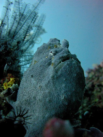 Giant Frogfish at Gili Air
