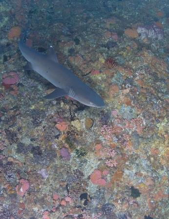 White tips sharks in Gili Air