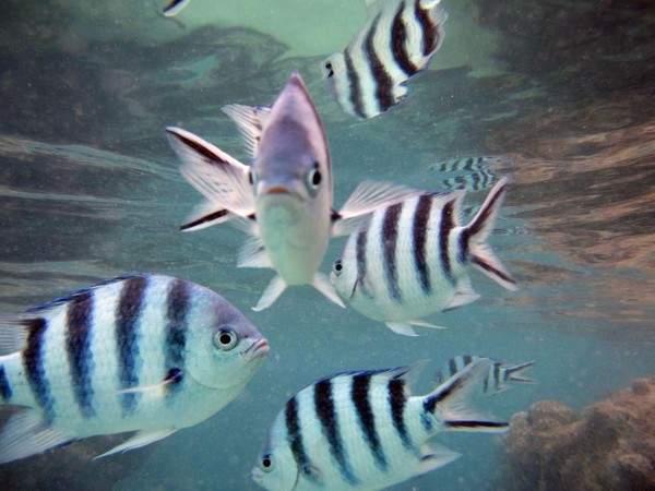 Damsel fish in Lembongan