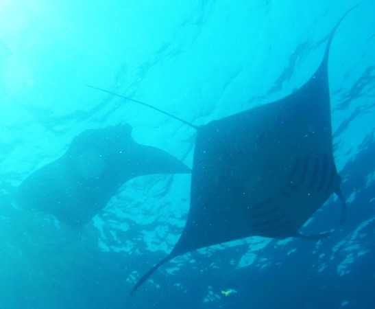 Mantas in Lembongan
