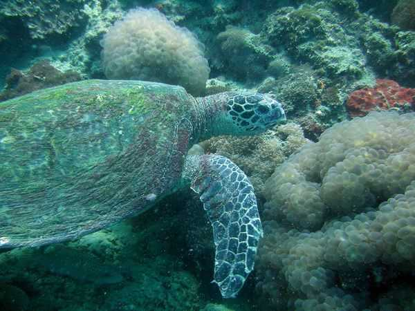 Turtles in Nusa Lembongan