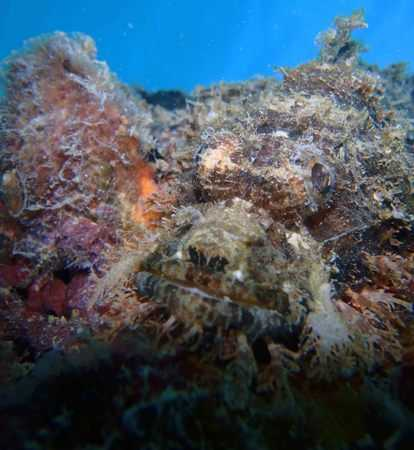 Scorpion Fish In Lembongan