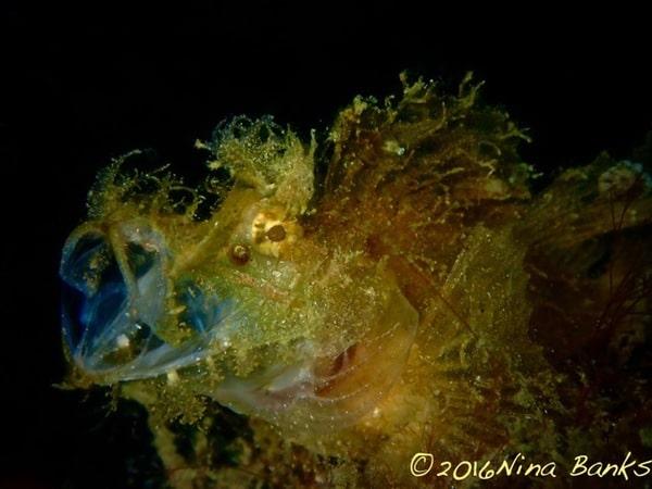 rhinopias scorpion fish in amed's house reef