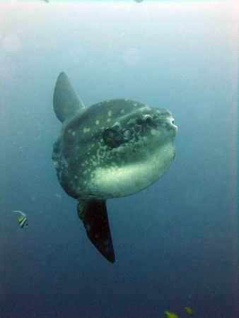 Some Molas are Still Around in Lembongan - Mola season