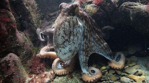 awesome-octopus-lembongan