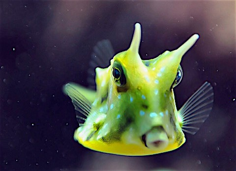 cowfish in lembongan