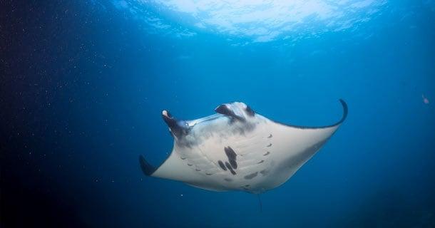 diving manta point on day-trips to Nusa Penida/Nusa Lembongan