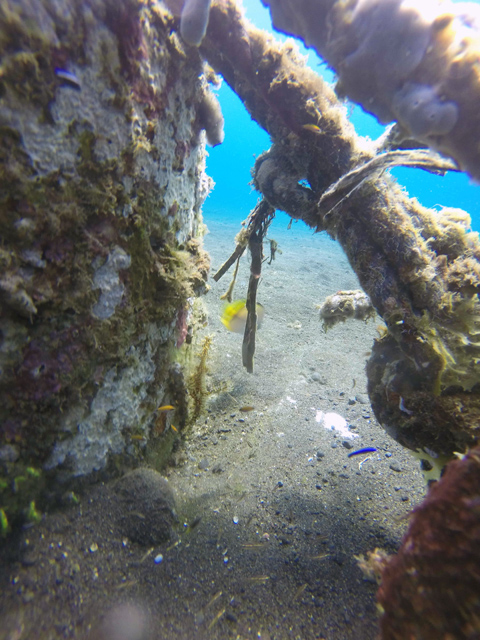 Ornate Ghost Pipefish in Amed