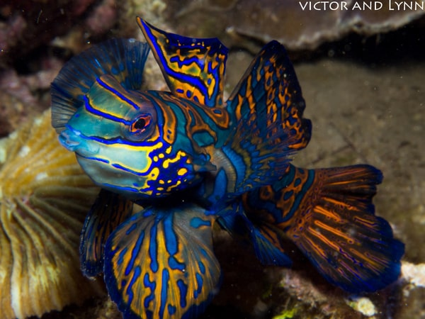 Date Night In Lembeh For Mandarin Fish
