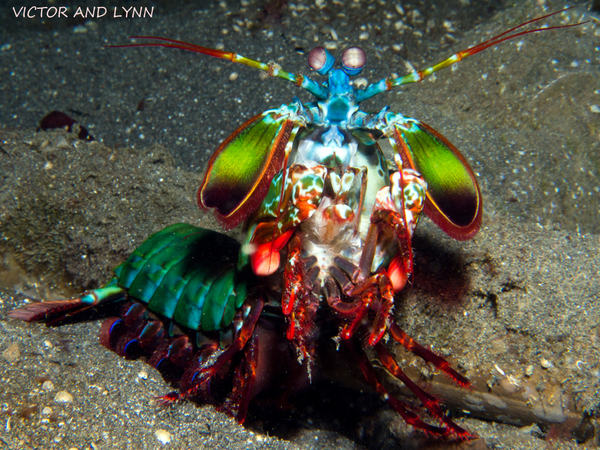 Best Gas Prices >> Peacock Mantis Shrimp Love to Show Off In Lembeh - Two Fish Divers