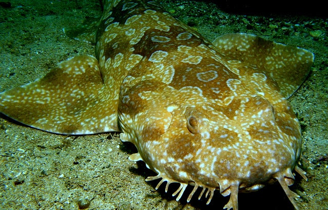 Amazing Wobbegong Shark In Manta Point Lembongan