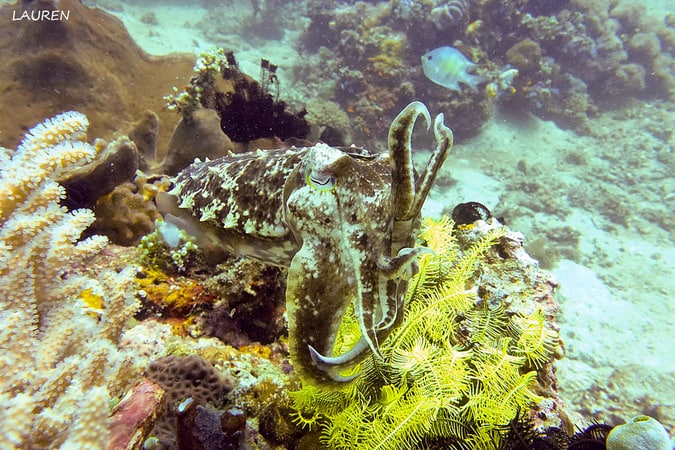 Divemaster Broadclub Cuttlefish