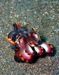 Fabulous Flamboyant Cuttlefish Of Lembeh