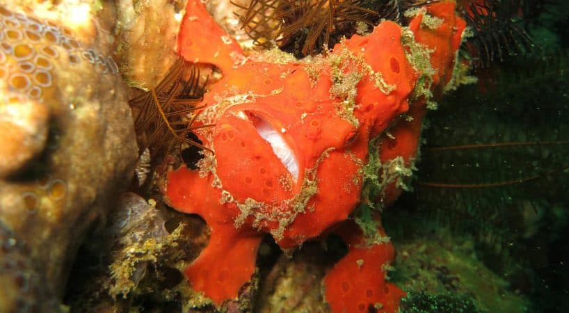 Frog fish at bunaken when we reef clean up