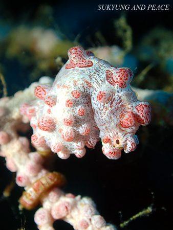 Barbigants pygmy seahorse Lembeh